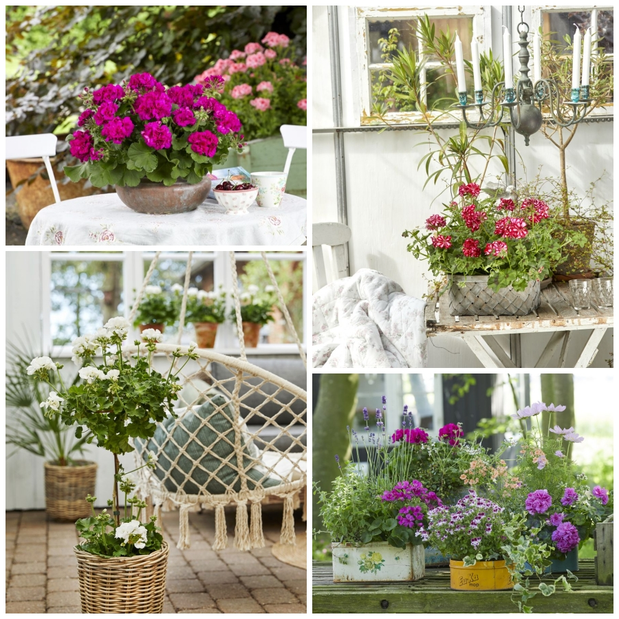 La versatilidad de los geranios en función del jardín deseado