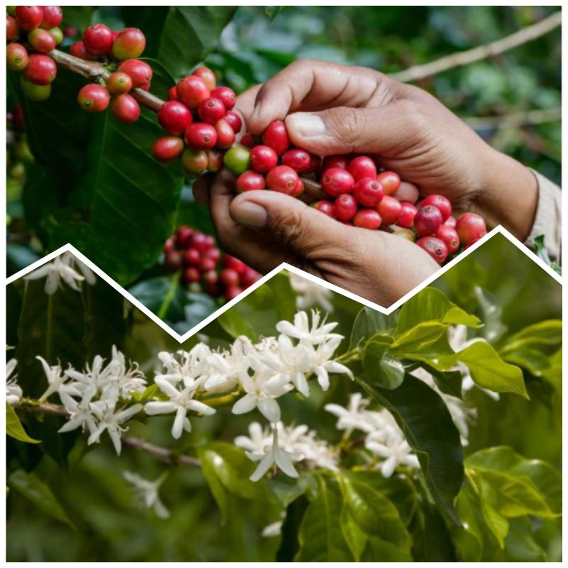 10 Secretos de la planta del café que no conocías