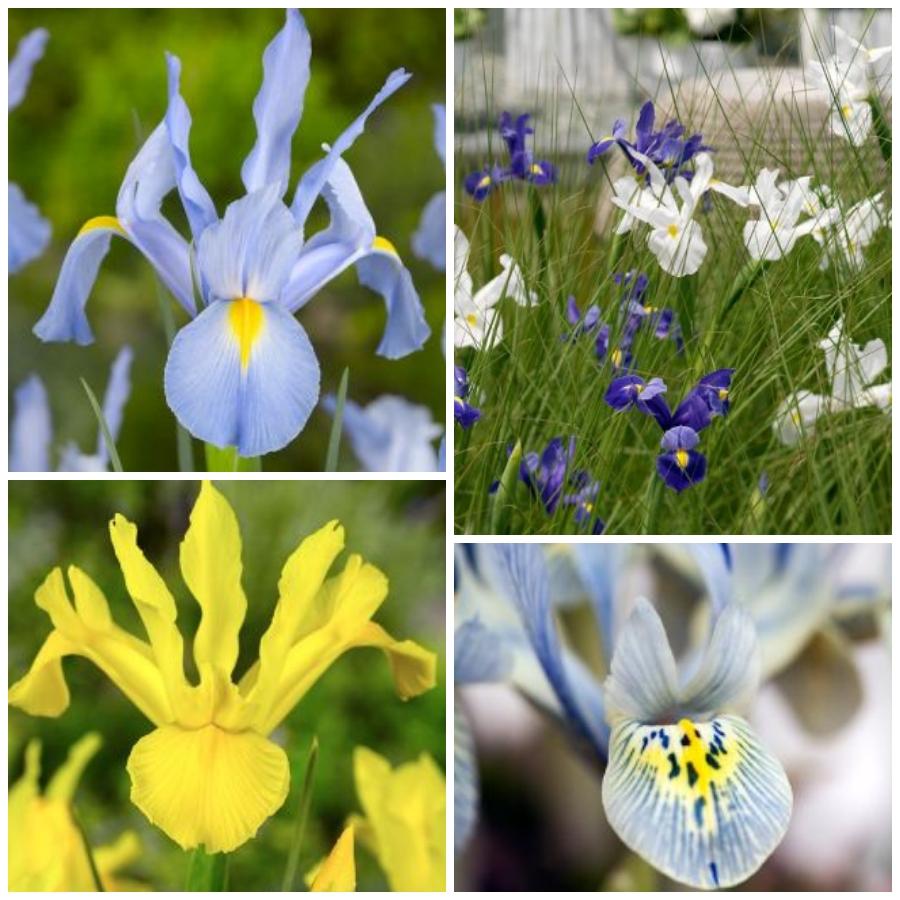 Iris, flor con un mensaje
