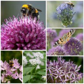 Allium: bombas de néctar radiante
