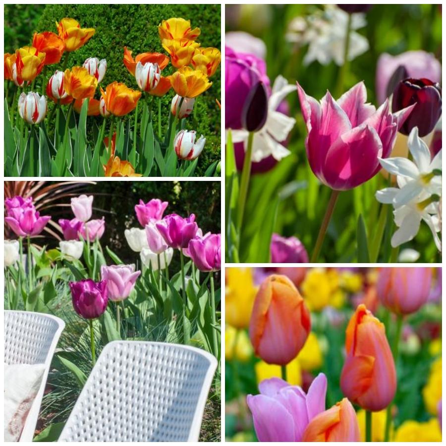 Cuidados y curiosidadesdel tulipan