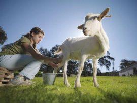 Leche de cabra, gran aliado para fortalecer el sistema inmune y reforzar las defensas según expertos
