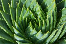 Aloe Vera, el mejor aliado para la piel y para la salud