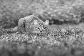 El gato, carnívoro por excelencia, ingiere diariamente más del doble de hidratos de carbono de lo que debería