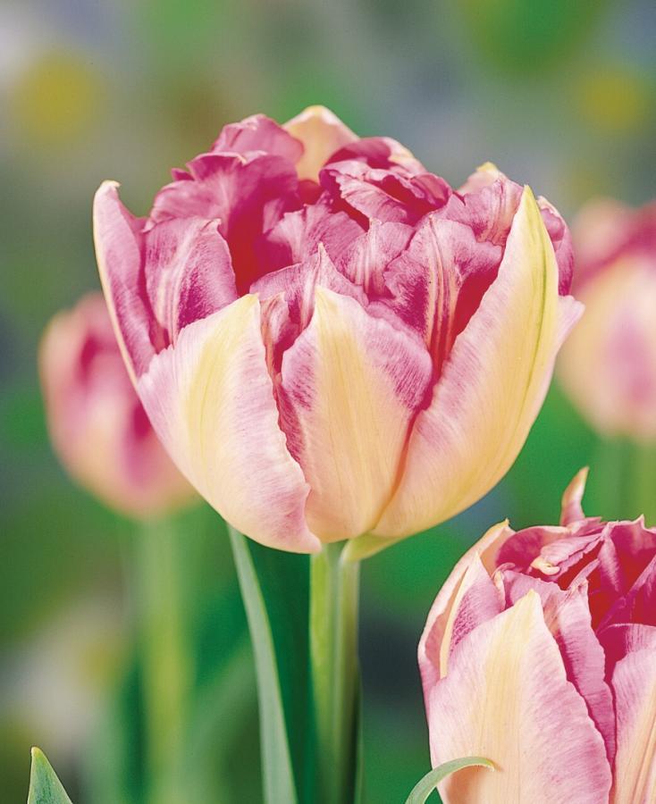 El tulipán Triumph es el bulbo de flor del año